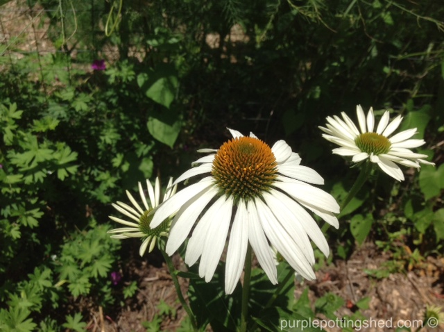 Coneflower, white swan.jpg