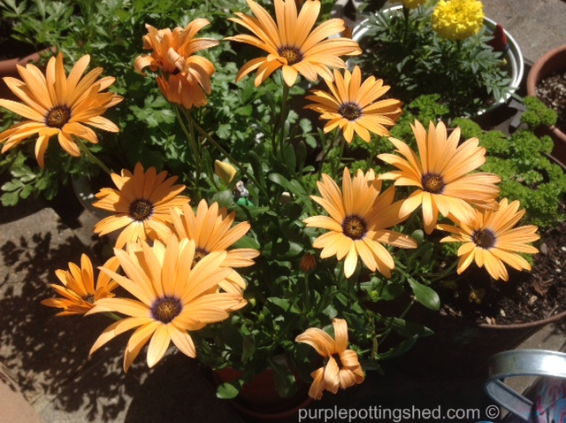 Osteospermum, orange.jpg