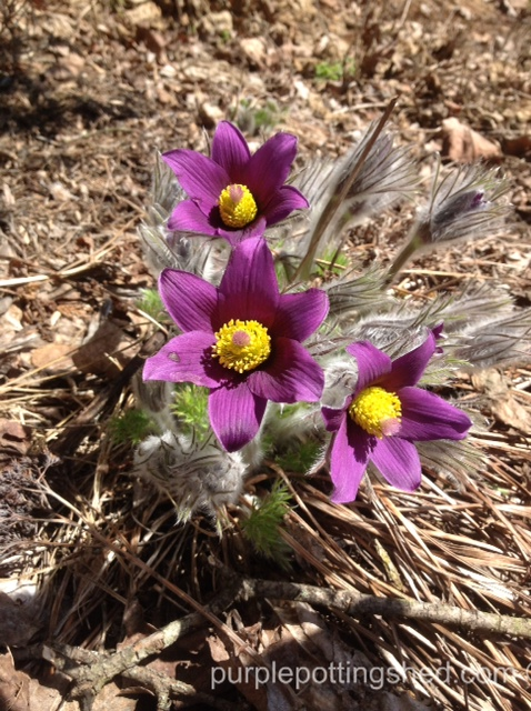 Pasque flower, baby.jpg