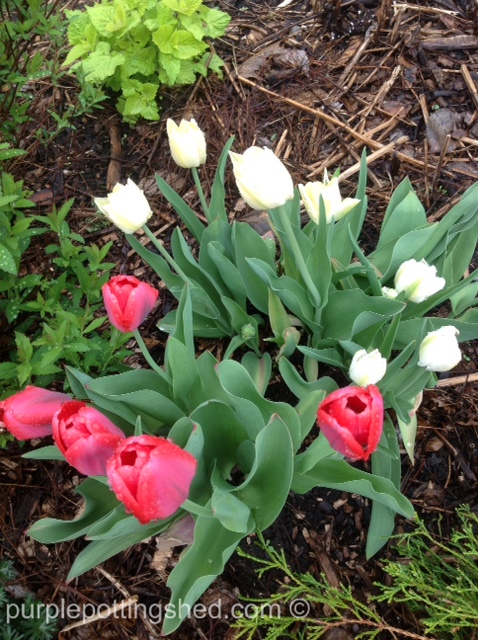 Tulips in red & white.jpg