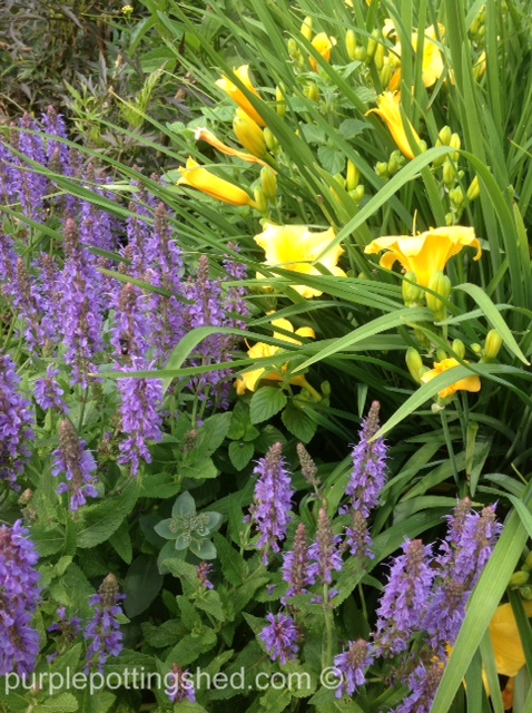 Perennial sage and golden daylilies.jpg