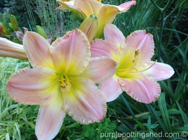 Daylily, pale pink.jpg