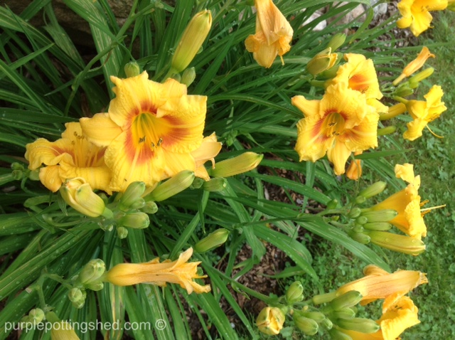 Daylily, golden.jpg