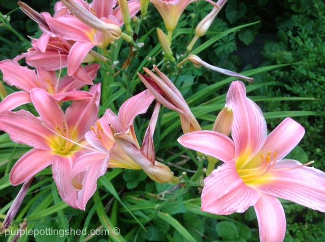 Daylily, pink & yellow.jpg