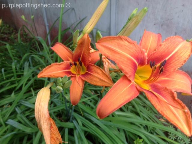 'Ditch' lily.jpg