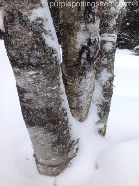 Birch in winter.jpg