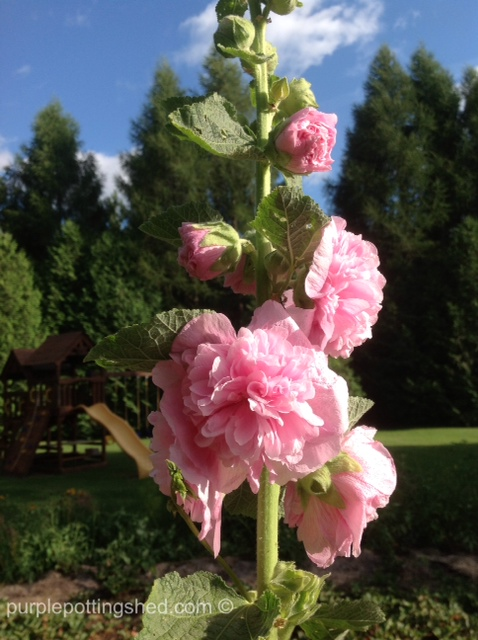 Hollyhock, double pink.jpg