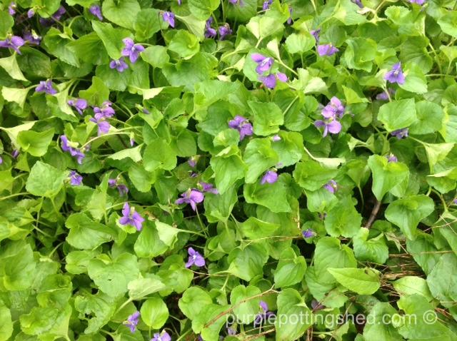 Common violets.jpg