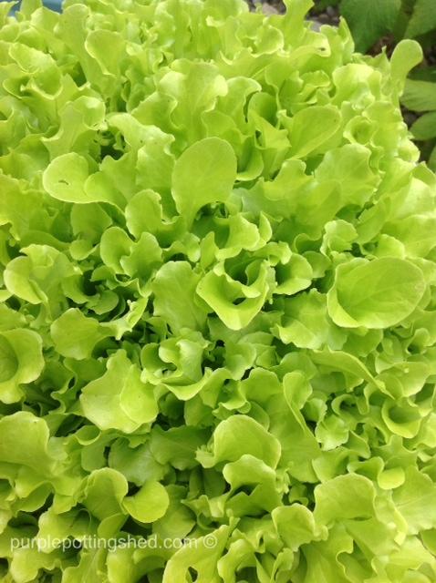 Lettuce leaves.jpg