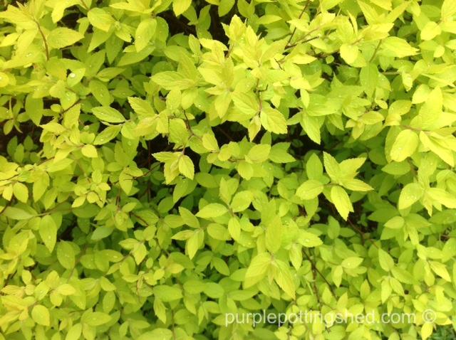 Spirea, new leaves.jpg