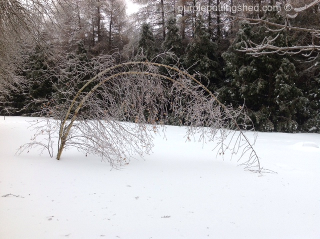 Iced birch bows to mother nature.jpg