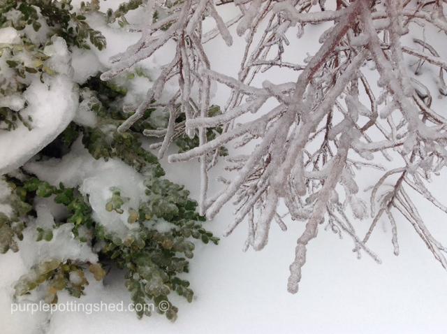 Iced boxwood and bridal wreath spirea.jpg