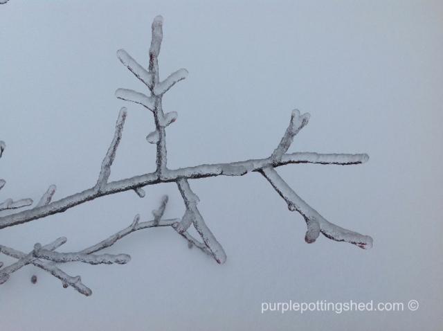 Iced branch, close.jpg