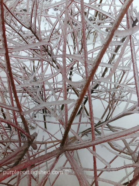 Iced japanese willow.jpg
