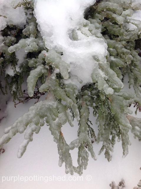 Iced juniper.jpg