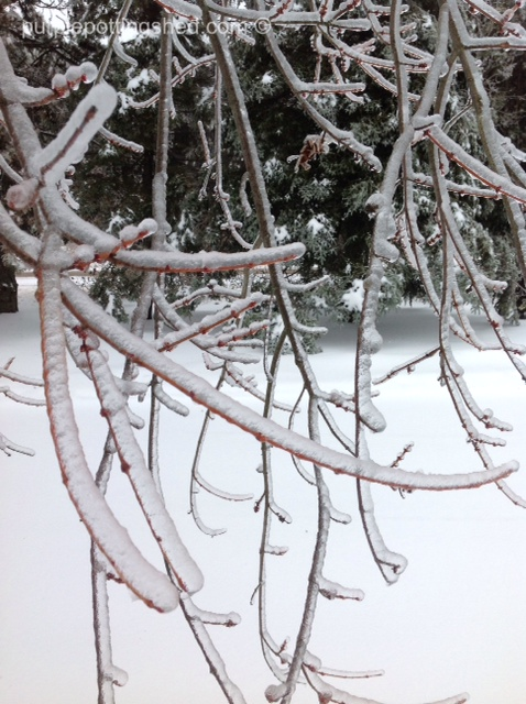 Iced maple branches.jpg