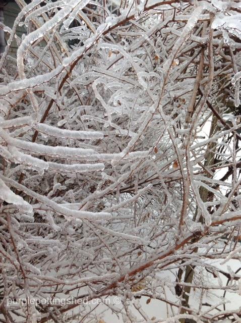 Iced ninebark.jpg