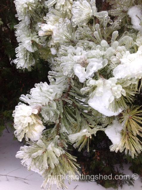 Iced pine.jpg
