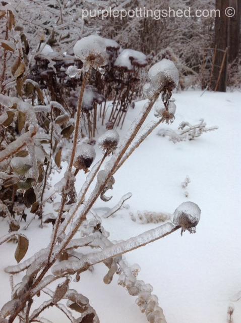 Iced rudbeckia.jpg
