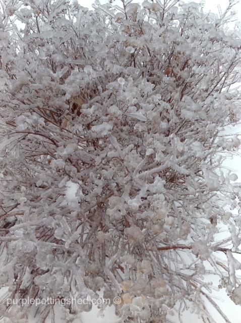 Iced spirea.jpg