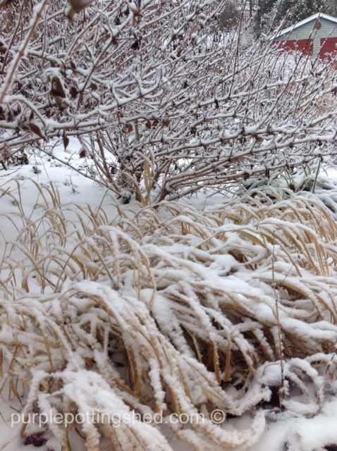 Weigela and grass with snow.jpg