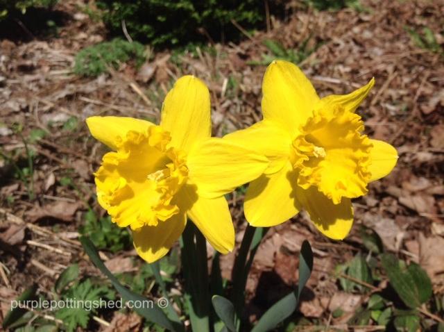 Daffodil twins.jpg
