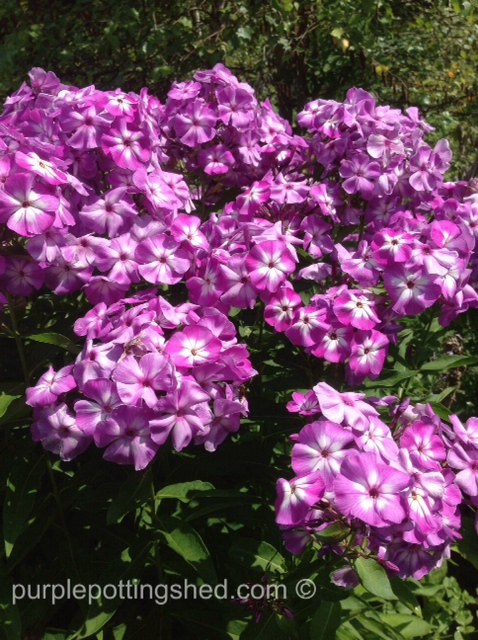 Phlox, bi-colour.jpg