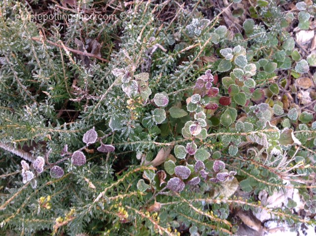 Frosted heather and veronica.jpg