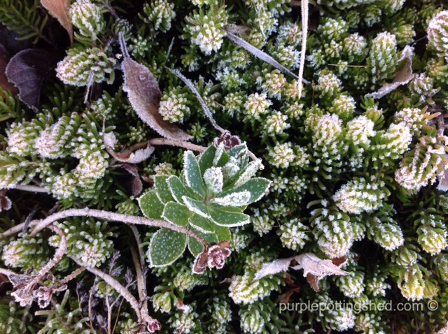 Frosted sedum with little donkey tail.jpg