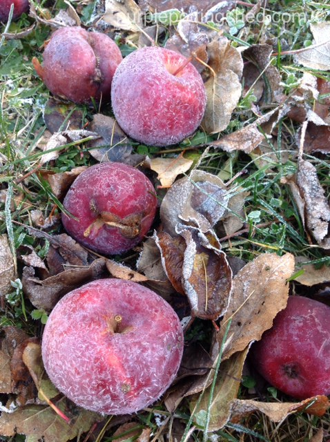 Frosted apples.jpg