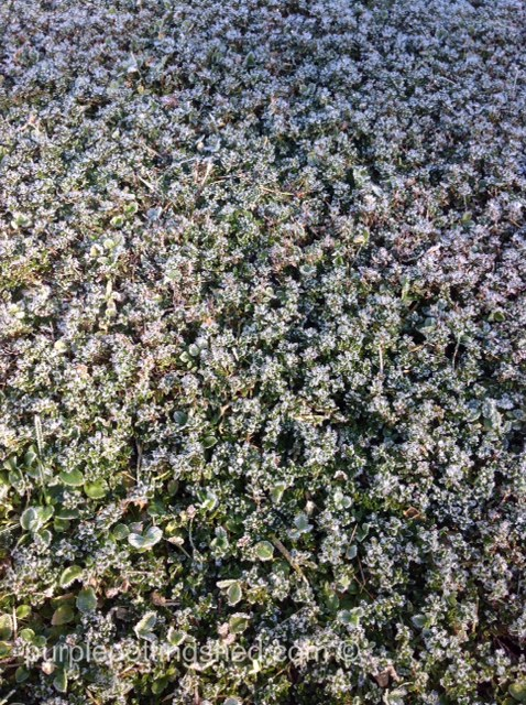Frosted thyme lawn.jpg