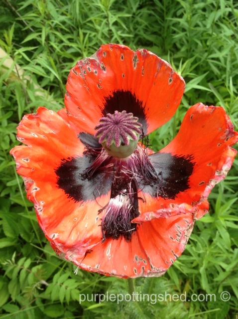 Poppy, falling petals.jpg