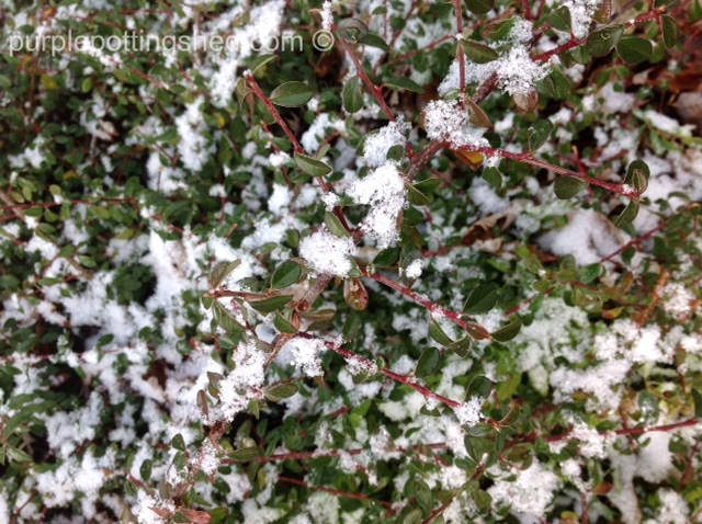 Cotoneaster with snow.jpg