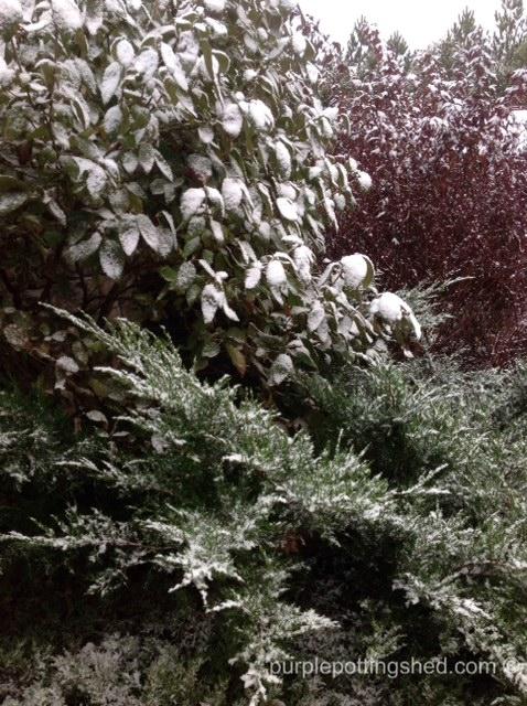 Shrubs with snow.jpg