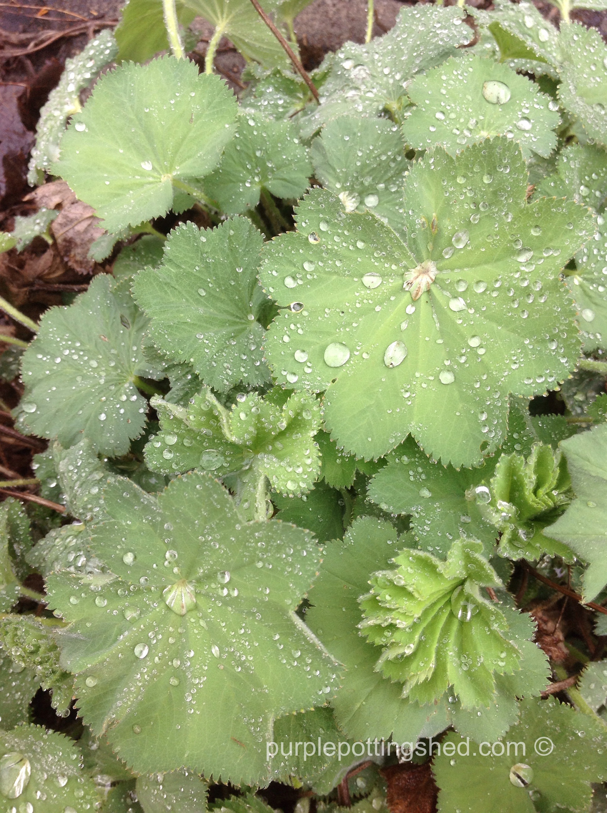 Lady's Mantle.jpg
