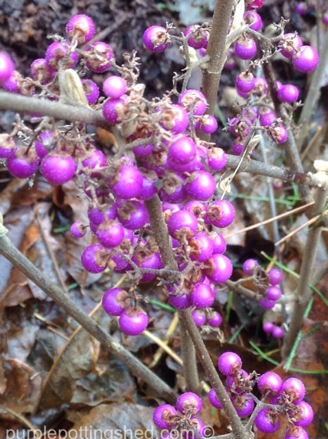 Beauty berry berries.jpg