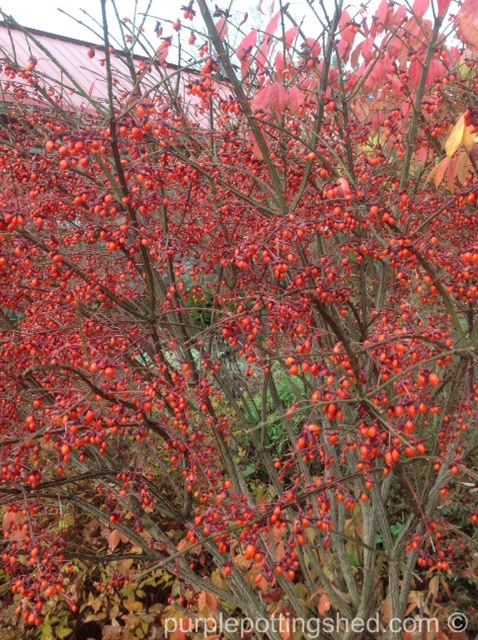 Burning bush berries.jpg