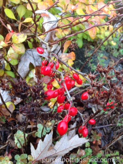 Barberry berries.jpg