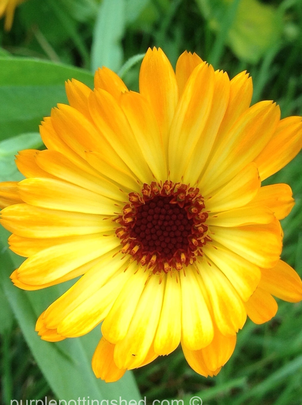 Calendula, close.jpg