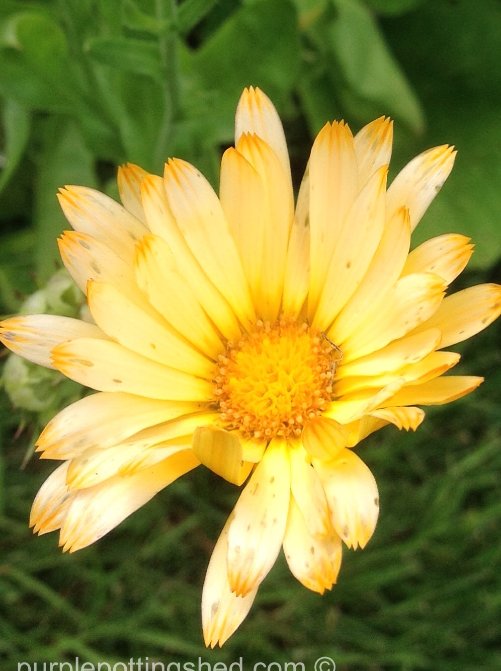 Calendula, blonde.jpg