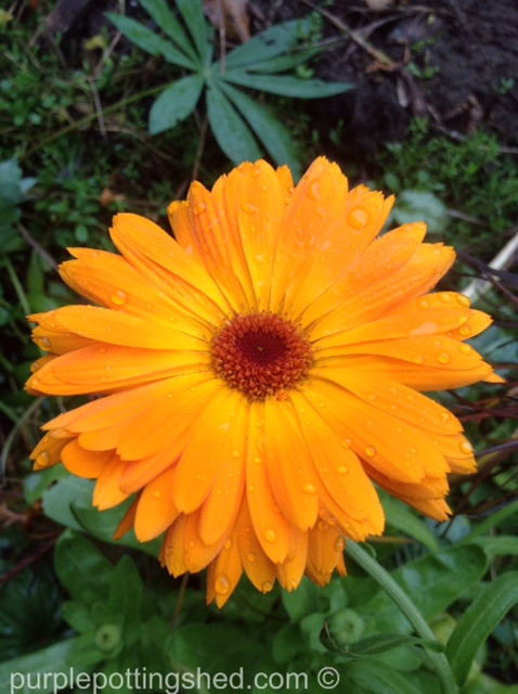Calendula, rain drops.jpg