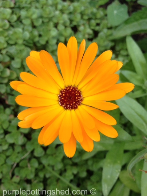 Calendula, single orange.jpg