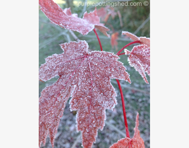 Red Maple with frost