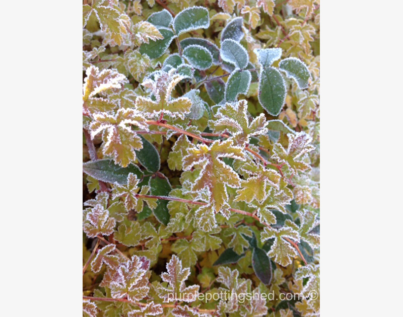 Mixed Shrubs with frost