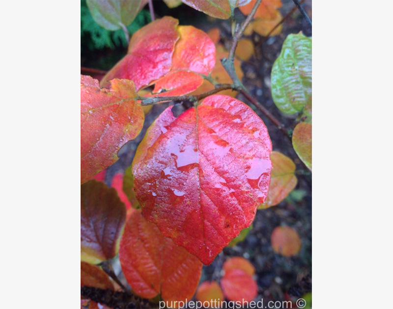 Fothergilla, autumn colour