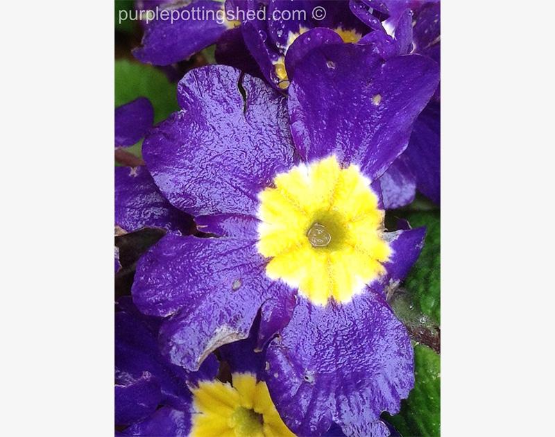 Primula in purple