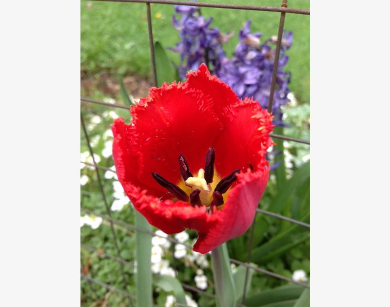 Red Tulip