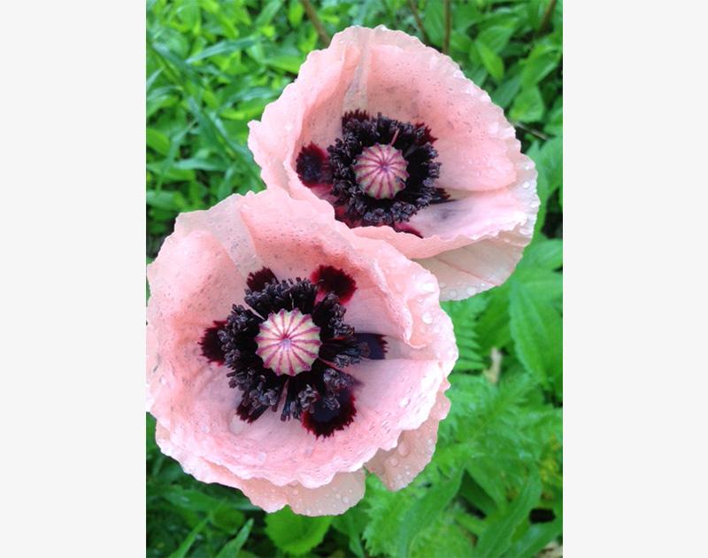 Pink Oriental Poppy pair