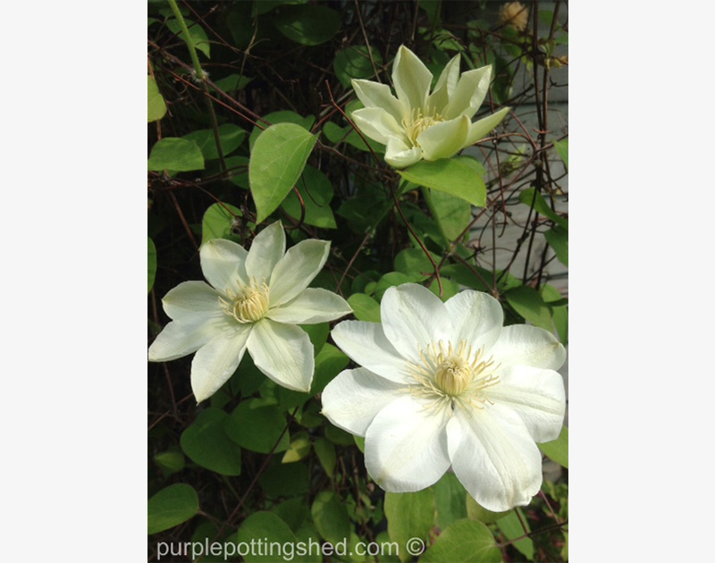 Clematis, spring blooming in creamy white