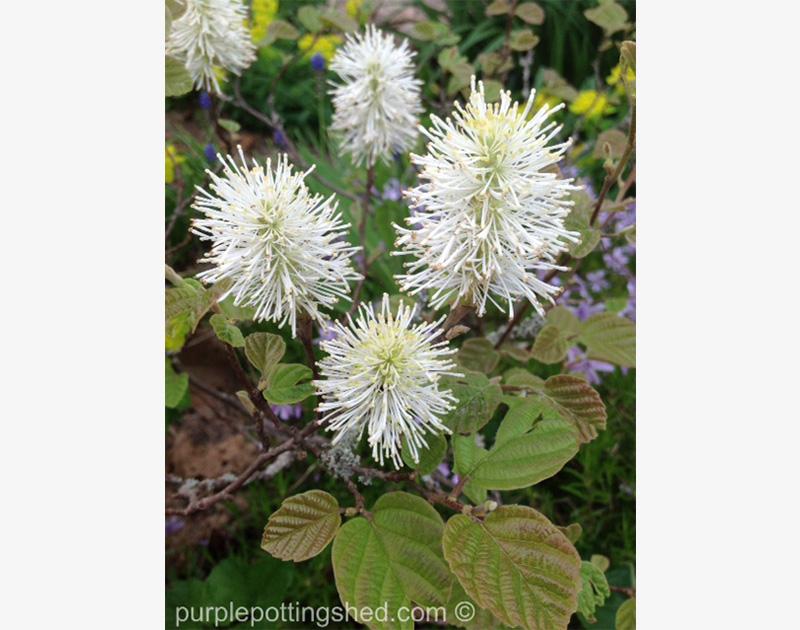 Bottlebrush or Fothergilla, blooming